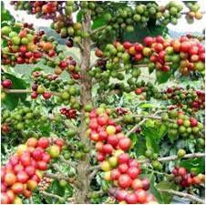 Health Coffee HPAI Kopi