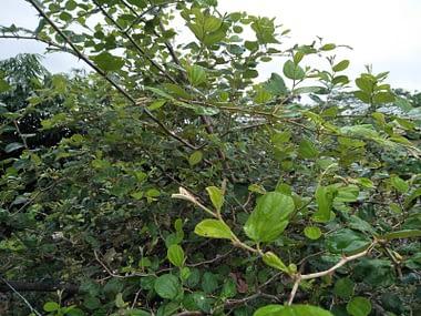 Pohon bidara Agen Kapsul Daun Bidara HIU surabaya sidoarjo