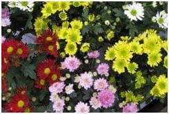 Chrysanthemum (Flos, Folium) indonesia
