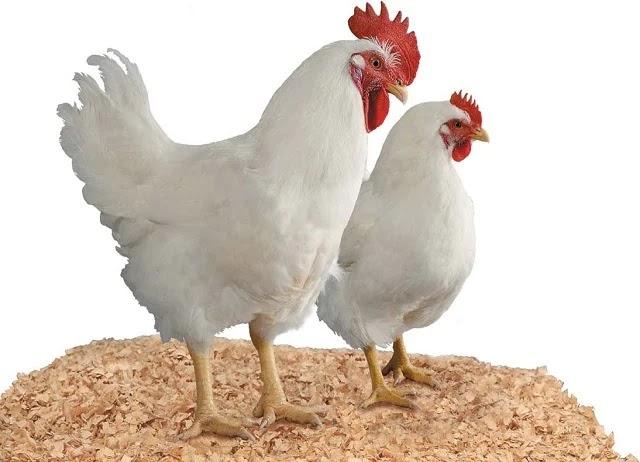 Biotoglod Microgen Nutrisi Ayam Pedaging