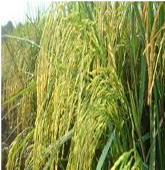 Oryza Sativa adalah padi komposisi bio7